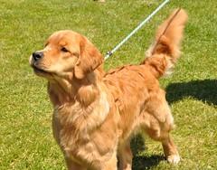 86th  Annual Dog Show (caboose_rodeo) Tags: 294 dog somebodyelsesdog goldenretriever norwalkct akc