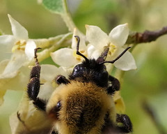 Common Eastern Bumblebee (Bruce Bolin) Tags: