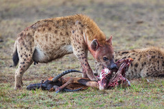 Stolen Lunch (Xenedis) Tags: africa afrika animal eastafrica feeding gamedrive grass hyena kenya maasaimara maranorthconservancy narokcounty plains republicofkenya riftvalley safari savannah topi trees wildlife