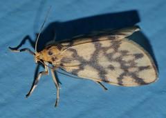 Reverse tiger moth Gymnasura saginea Lithosiinae Arctiidae Noctuoidea Airlie Beach rainforest P1060693 (Steve & Alison1) Tags: reverse tiger moth gymnasura saginea lithosiinae arctiidae noctuoidea airlie beach rainforest