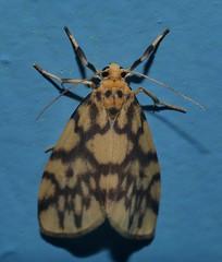 Reverse tiger moth Gymnasura saginea Lithosiinae Arctiidae Noctuoidea Airlie Beach rainforest P1060692 (Steve & Alison1) Tags: reverse tiger moth gymnasura saginea lithosiinae arctiidae noctuoidea airlie beach rainforest