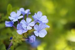 plumbago (Christine_S.) Tags: flowers flower hawaii honolulu fortderussypark canon blossoms blue bokeh 32mm m5 closeup macro plumbagoauriculata waikiki mirrorless oahu ngc npc
