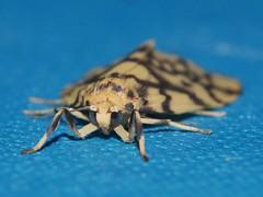 Reverse tiger moth Gymnasura saginea Lithosiinae Arctiidae Noctuoidea Airlie Beach rainforest P1060767 (Steve & Alison1) Tags: reverse tiger moth gymnasura saginea lithosiinae arctiidae noctuoidea airlie beach rainforest
