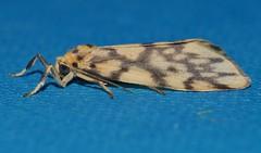 Reverse tiger moth Gymnasura saginea Lithosiinae Arctiidae Noctuoidea Airlie Beach rainforest P1060766 (Steve & Alison1) Tags: reverse tiger moth gymnasura saginea lithosiinae arctiidae noctuoidea airlie beach rainforest