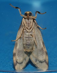 Reverse tiger moth Gymnasura saginea Lithosiinae Arctiidae Noctuoidea Airlie Beach rainforest P1060762 (Steve & Alison1) Tags: reverse tiger moth gymnasura saginea lithosiinae arctiidae noctuoidea airlie beach rainforest