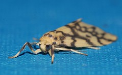 Reverse tiger moth Gymnasura saginea Lithosiinae Arctiidae Noctuoidea Airlie Beach rainforest P1060769 (Steve & Alison1) Tags: reverse tiger moth gymnasura saginea lithosiinae arctiidae noctuoidea airlie beach rainforest