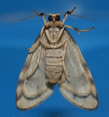 Reverse tiger moth Gymnasura saginea Lithosiinae Arctiidae Noctuoidea Airlie Beach rainforest P1060697 (Steve & Alison1) Tags: reverse tiger moth gymnasura saginea lithosiinae arctiidae noctuoidea airlie beach rainforest