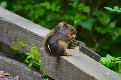 Snack Time (Neal D) Tags: bc langley campbellvalleypark animal squirrel douglassquirrel