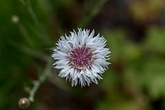 Kornblume (wpt1967) Tags: blume blüte blüten canon100mmmacro28 canon6d cyanussegetum eos6d frühling kornblume makro makrofotografie ruhrgebiet ruhrpott flower macro spring wpt1967