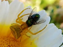 LA ARAÑA Y LA MOSCA (Pedro Muñoz Sánchez) Tags: araña cangrejo mosca mondays flowers bug macro macrofotografia