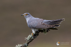 Cuckoo (Simon Stobart) Tags: cuckoo cuculus canorus north east england uk perched