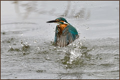Kingfisher (image 2 of 3) (Full Moon Images) Tags: lackford lakes wildlife trust nature reserve kingfisher