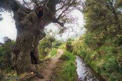 Duendes del bosque: El viejo roble y la acequia (Lucas Gutiérrez) Tags: duendesdelbosquenevadense viejoroble acequiadealmiar sulayr parquenacionaldesierranevada soportújar laalpujarra granadanatural
