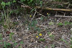 Ranunculus (esta_ahi) Tags: riudefoix flor flora flores silvestres ranunculus ranunculaceae yellow santmartísarroca penedès barcelona spain españa испания