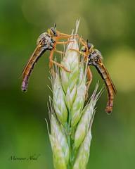 Macro insects (marianoabad1) Tags: mzuiko60mmf28macro mzuiko omdem1markii olympus insects insectos wildlife fotografíamacro macro naturaleza fotografíadenaturaleza nature naturephotography