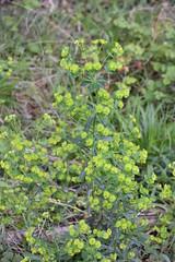 Euphorbia amygdaloides (esta_ahi) Tags: riudefoix euphorbia amygdaloides euphorbiaamygdaloides flor flora flores silvestres santmartísarroca penedès barcelona spain españa испания