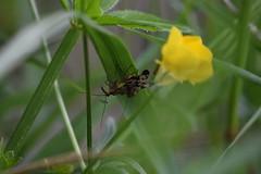 Cópula de Panorpa (esta_ahi) Tags: riudefoix panorpa panorpidae mecoptera insectos fauna cópula moscaescorpión santmartísarroca penedès barcelona spain españa испания