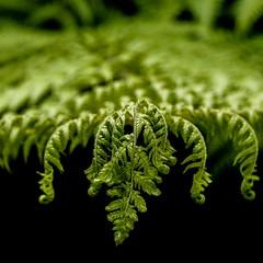 Soft Tree Fern (Dicksonia antarctica) (Silverback Woody) Tags: garden tree fern vr 18200mm j5 nikon ft1