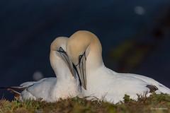 In Love.. (wernerlohmanns) Tags: wildlife wasservögel natur nikond750 schärfentiefe sigma150600c meer basstölpel