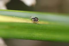 Baby jumping spider, Shek Mun Kap, Hong Kong (ColinParker777) Tags: spider nature arachnid insect bug creepy crawlie crawley crawly cute eyes grass plant tree bush hong kong shek mun kap park lantau island