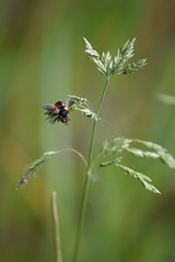 Tachinidae (esta_ahi) Tags: riudefoix tachinidae diptera mosca insectos fauna santmartísarroca penedès barcelona spain españa испания