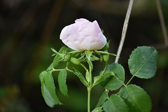 Rosa silvestre (esta_ahi) Tags: riudefoix rosa rosal silvestre rosaceae flor flora flores santmartísarroca penedès barcelona spain españa испания