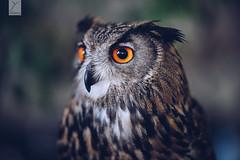 Maître hibou ... (Yannick Charifou Photography ©) Tags: nikon d850 afs105mm14e wideopen bokeh blur dof depthoffield rapace bird oiseau wildlife eyes yeux regard yannickcharifouphotography plumage plumes hibou owl ngc