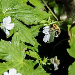 Shrill Carder Bee (Bombus sylvarum) (Silverback Woody) Tags: bee garden vr 18200mm ft1 j5 nikon
