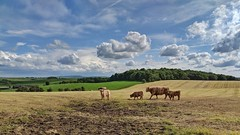 Highland cattle (douglasjarvis995) Tags: landscape view sky cow cattle highland field yorkshire settle google pixel2 phone mobile