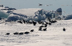 Adelie Penguins tobogganing over ice flow to jump back into the sea (Paul Cottis) Tags: adelie penguin weddellsea antarctica ice iceberg ocean swim 1 february 2019 feb paulcottis orca dolphin cetacean marine mammal killerwhale sledge toboggan slide