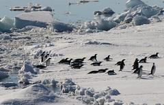 Adelie Penguins jumping out of the ocean and tobogganing across the ice (Paul Cottis) Tags: adelie penguin weddellsea antarctica ice iceberg ocean swim 1 february 2019 feb paulcottis orca dolphin cetacean marine mammal killerwhale sledge toboggan slide