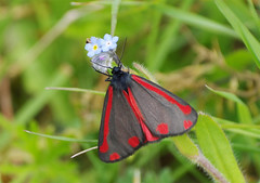 K32P5375aa Cinnabar Moth, Paxton Pits, May 2019 (bobchappell55) Tags: paxtonpits cambridgeshire wild wildlife nature moth insect cinnabar tyriajacobaeae