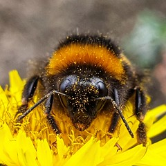 A lovely bee. (pepemczolz) Tags: bees insect closeup nature
