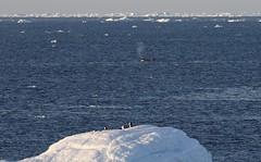 Adelie Penguins on top of iceberg with Orca swimming behind (Paul Cottis) Tags: adelie penguin weddellsea antarctica ice iceberg ocean swim 1 february 2019 feb paulcottis orca dolphin cetacean marine mammal killerwhale