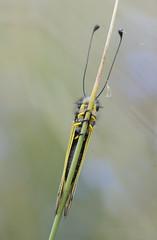 Libelloides  longicornis (Lucas Gutiérrez) Tags: libelloideslongicornis hazallana soportújar granadanatural sierranevada laalpujarra insectos macrofotografía