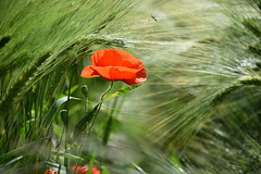 Gentil coquelicot (Croc'odile67) Tags: nikon d3300 sigma contemporary 18200dcoshsmc fleurs flowers nature coquelicots poppies champ épis rouge red