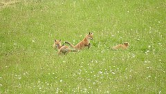 Fox Cubs Playing (blue33hibiscus) Tags: animal mammal canine redfox cub grass field cornwall bbcspringwatch
