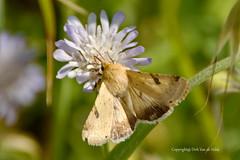 Moth (DirkVandeVelde ( very busy)) Tags: europa europ europe greece griekenland outdoor buiten biologie fauna macro dieren papillon papillondenuit mot moth nachtvlinder insekt insects insect insekten