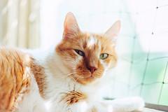 Whiskey (Marina Pokupcic) Tags: cat cats animals animalportrait pets window light