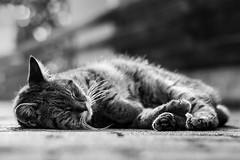 Bounty (patrick_illhardt) Tags: cat sleeping sun chilling black white animal pet petphotography animalphotography feline katze schwarz weiss