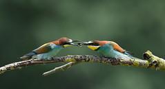 offrande (Guillaume Dardant) Tags: nature sauvage oiseaux bird loiret loire d810 nikon 500mmf4 méropidé guêpierdeurope coraciiformes meropsapiaster europeanbeeeater offrande affût