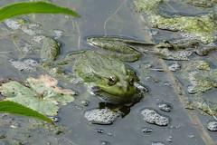 Marsh Frogs (hedgehoggarden1) Tags: marshfrog amphibian nature wildlife frog sonycybershot yorkshire uk sony
