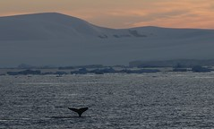Humpback Whale with tail up diving as the sun goes down over Antarctica (Paul Cottis) Tags: weddellsea evening antarctica antarcticpeninsula ice iceberg ocean paulcottis 1 february 2019 feb humpback whale cetacean marine mammal sunset swim swimming redsky