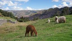 Alpagas of Cuzco (Chemose) Tags: sony ilce7m2 alpha7ii avril april pérou peru alpaga cuzco cusco ville town paysage landscape meadow sacsayhuaman inca animal prairie mountain montagne