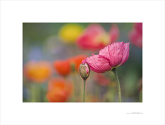 The secret promise (E. Pardo) Tags: flores flowers blumen amapolas mohnblumen poppys colores colors farben primavera spring frühling beauty belleza schönheit admont steiermark austria österreich