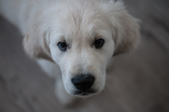 Glenn 10 weeks (2) (corinna1411) Tags: pets haustier dog dogs hund hunde goldenretriever golden goldenretrievers welpe puppy weis white nikon nikond300 tamron porträt portrait sherlysgoldenglenn