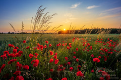 Mohnromantik...© Frank Heldt Photography (Frank Heldt Photography) Tags: dortmund nordrheinwestfalen deutschland mohn sonnenuntergang sunrise lanstrop lanstropersee hdr canon frankheldt