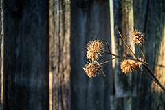 Melancholy Thistle Branch By The Barn Wall (k009034) Tags: 500px wooden cirsium heterophyllum copy space day finland scandinavia tranquil scene barn branch dead farming fields flora flower light melancholy thistle nature no people old plant rural shadow springtime wall teamcanon cirsiumheterophyllum copyspace tranquilscene melancholythistle nopeople