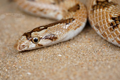 Lytorhynchus diadema (Matthieu Berroneau) Tags: sony alpha ff 24x36 macro nature wildlife animal fe sonya7iii sonya7mk3 sonyalpha7mark3 sonyalpha7iii a7iii 7iii 7mk3 sonyilce7m3 herp herping trip israel israël reptile reptilian reptilia serpent 90 f28 g oss fe90f28macrogoss sonyfesonyfe2890macrogoss objectifsony90mmf28macrofe sel90m28g snake lytorhynchus diadema lytorhynchusdiadema couleuvre diadème couleuvrediadème leafnosed leafnosedsnake crowned leafnose crownedleafnosesnake nahashholothartuman nahash holot hartuman