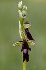 Ophrys mouche - Fly Orchid (happybirds.ch) Tags: orchidée orchid suisse switzerland flower fleur sauvage wild happybirds ophrys mouche insectifera fly fribourg ophrysinsectifera